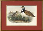 Sale 8722A - Lot 5098 - John Gould (1804 - 1881) - Little Bustard (Otis Ttrax), 1864 31 x 42cm