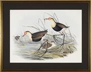 Sale 8722A - Lot 5099 - John Gould (1804 - 1881) - Comb-cressed Jacana(Parra Gallinacea), c1840s 36 x 48cm