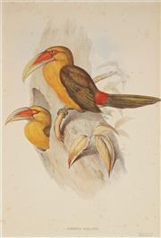 Sale 9055A - Lot 5100 - John Gould (1804 - 1881) - Andigena Bailloni 50.5 x 35 cm (sheet: 71 x 55 cm)