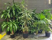 Sale 8959 - Lot 1041 - Collection of Small & Tall Indoor Plants (Tallest: 150cm)