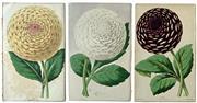 Sale 8752A - Lot 5005 - Group of (3) Vintage Prints of Dahlias - 21 x 31cm, each