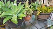 Sale 8383 - Lot 1398A - Pair of Planters with Agaves & Succulents Together with as Potted Plant (3)