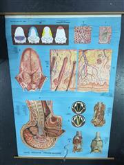 Sale 8658 - Lot 19 - Vintage Human Anatomy Chart & Vintage Human Anatomy Chart (155 x 110cm, water damaged) (2)