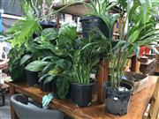 Sale 8822 - Lot 1533 - Collection of Indoor Plants