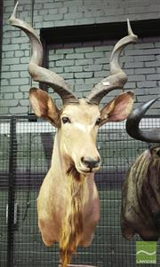 Sale 8444 - Lot 1056 - Kudu Taxidermy Head