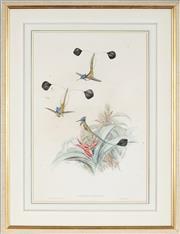 Sale 8853 - Lot 2060 - J. Gould & H. C. Richter - Loddigesia Mirabilis 50.5 x 33cm