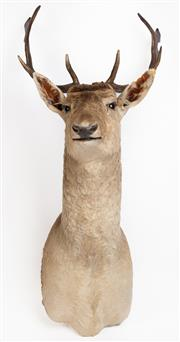 Sale 8586A - Lot 12 - A good example of a fallow deer shoulder mount, H 103 x W 46 x D 54cm