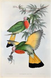Sale 8382 - Lot 574 - John Gould (1804 - 1881) - NYCTIORNIS AMICTUS 54.5 x 37cm (sheet size)