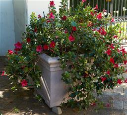 Sale 9097H - Lot 4 - Square planter with dipladenias. Height 50cm