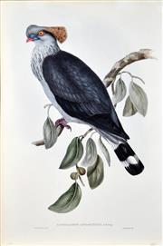 Sale 8339A - Lot 569 - John Gould (1804 - 1881) - LOPHOLAIMUS ANTARCTICUS 54.5 x 37cm (sheet size)
