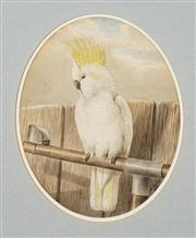 Sale 8755 - Lot 564 - Neville Cayley (1853 - 1903) - Cockatoo, 1885 24.5 x 19.5cm