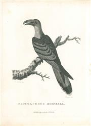 Sale 9037A - Lot 5007 - Peter Mazell (1733 - 1808) - Psittaceous Hornbill (The Channel-Billed Cuckoo), 1789 copper engraving