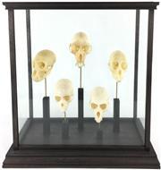 Sale 8758 - Lot 1 - Vervet Skulls (5), in good quality display case