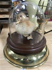 Sale 8758 - Lot 63 - Taxidermy Duckling in Glass Dome