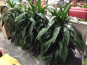 Sale 8601 - Lot 1522A - Set of Four Dracaena Janet Craig Plants