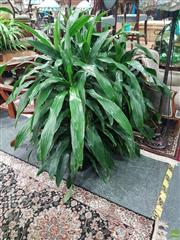 Sale 8601 - Lot 1022 - Set of Three Tall Dracaena Janet Craig Plants