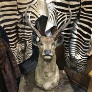 Sale 8758 - Lot 56A - Taxidermy Stags Head, shoulder mount