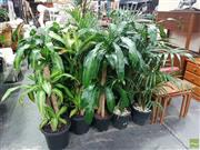 Sale 8601 - Lot 1405 - Collection of Indoor Plants