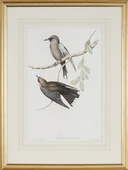 Sale 8891 - Lot 2029 - John Gould (1804 - 1881) - ARTAMUS CINEREOUS: Grey-breasted Wood Swallow 42 x 27.5 cm