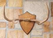 Sale 8677B - Lot 504 - A pair of deer antlers mounted on an oak shield back, antlers Length 60cm