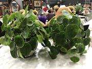 Sale 8787 - Lot 1048 - Pair of Chinese Luck Money Plants