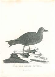 Sale 9037A - Lot 5011 - Peter Mazell (1733 - 1808) - Norfolk Island Petrel, 1789 copper engraving