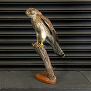 Sale 8758 - Lot 60D - Taxidermy Hawk on Stand