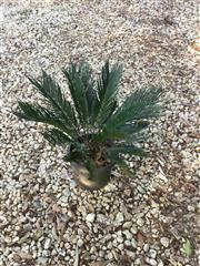 Sale 8772A - Lot 74 - A Well Establish Cycad Plant Size 75cm H Including Pot