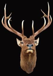 Sale 8342A - Lot 17 - A large and impressive neck mount taxidermy Elk, H 135 x W 95 x D 91cm
