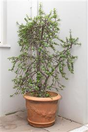 Sale 8644A - Lot 5 - A potted mature money tree in a terracotta pot, total height including plant 176cm.