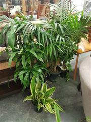Sale 8601 - Lot 1325 - Collection of Indoor Plants
