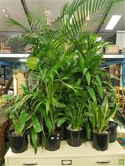 Sale 8601 - Lot 1078 - Large Collection of Small Indoor Plants