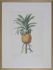 Sale 8422A - Lot 96 - An antique style horticultural print depicting a pineapple, Ananas Cultive, 50 x 30cm