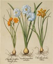 Sale 8896A - Lot 5057 - After Basil Besler (1561-1629) - Narcissus maior flore multiplice. 48.5 x 40.5 cm