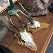 Sale 8758 - Lot 54B - Roe Deer Skull Caps (2)