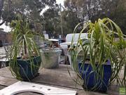Sale 8601 - Lot 1263 - Two Glazed Ceramic Planters with Ponytail Plants