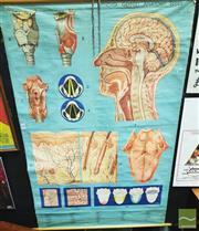 Sale 8421 - Lot 1066 - Denoyer Geppert Anatomy Series Poster on Canvas