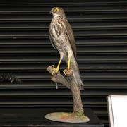 Sale 8758 - Lot 60A - Taxidermy Hawk on Stand