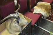 Sale 8310 - Lot 1605 - Taxidermy Goats Head w Hide