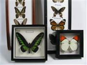 Sale 8331A - Lot 551 - Collection of Framed Butterflies