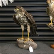 Sale 8758 - Lot 60E - Taxidermy Hawk on Stand