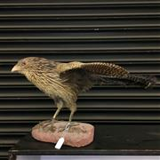 Sale 8758 - Lot 60B - Taxidermy Bird of Prey
