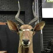 Sale 8638 - Lot 619 - Taxidermy Antelope, shoulder mount