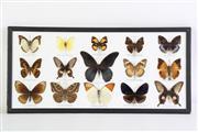 Sale 8860V - Lot 77 - A Framed Butterfly Diorama (25cm x 53cm)
