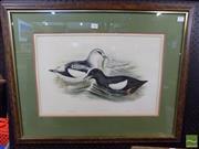 Sale 8407T - Lot 2048 - John Gould (1804 - 1881) - Black Guillemot, 1870 33.5 x 52cm