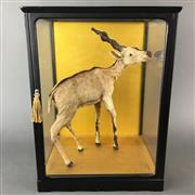 Sale 8586A - Lot 64 - A miniature Kudu taxidermy study in glass case, H of case 39cm