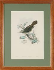 Sale 8838A - Lot 5176 - John Gould (1804 - 1881) - Meliarchus Sclateri (Birds of Guinea) 50 x 33cm