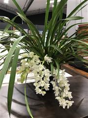 Sale 8805 - Lot 1087 - Five Spike Cymbidium Orchid in White
