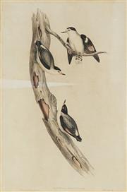 Sale 8841 - Lot 2048 - John Gould (1804 - 1881) - SITTELLA PILEATA: Black-capped Sittella (from Birds of Australia) 51.5 x 33.5cm