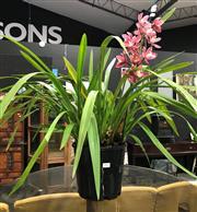 Sale 8805 - Lot 1033 - Single Spike Cymbidium Orchid in Pink